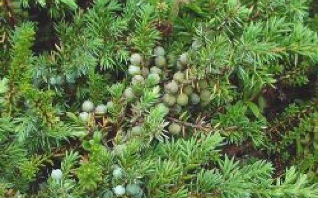 La coltivazione del Juniperus, Ginepro Juniperus (Ginepro), genere di 60 specie di alberi e arbusti sempreverdi appartenenti alla famiglia delle Cupressaceae, molto diffusi nell'emisfero settentrionale. Alcune specie hanno portamento colo #juniperus #ginepro #coltivazione #conifera
