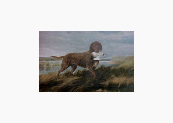 Dog breeds that have become extinct ~  Tweed Water Spaniel