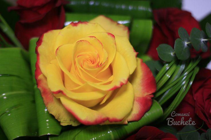 High and Yellow Flame Rose