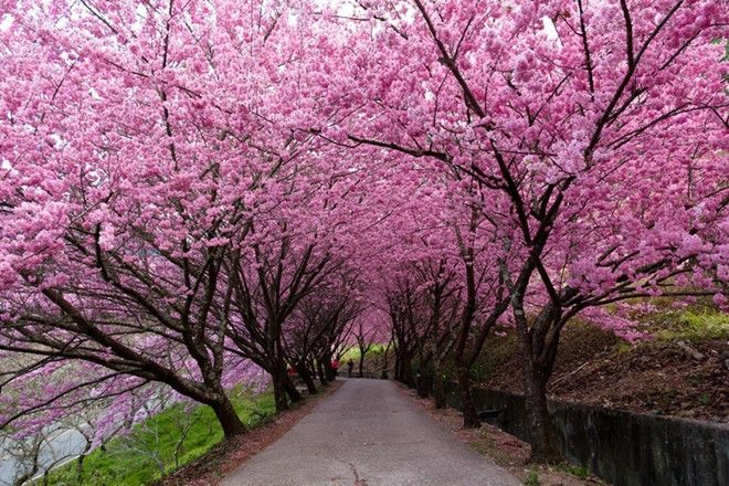Cherry Blossom In Taiwan 2021 Forecast The Best Time 8 Best Places To See Cherry Blossoms In Taiwan Living Nomads Travel Tips Guides News Informat Cherry Blossom Blossom Trees Scenic