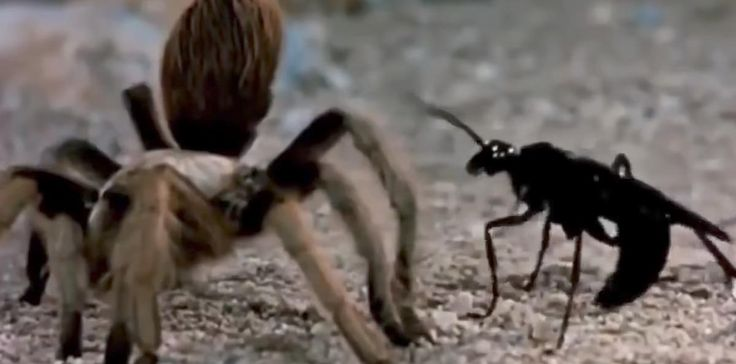 This spider-hunting wasp seen in Utah and Texas gains national attention for horrific sting | Deseret News