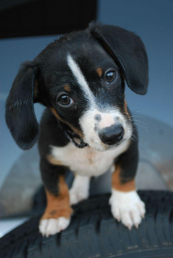 9 wk. old dachshund: Cute Puppies, College Student, Animals, Dachshund, Puppy Dog Eyes, Puppys, Box, Cute Dogs, Friend