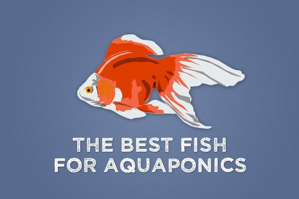 What are the best fish for aquaponics well that depends for Best fish for aquaponics