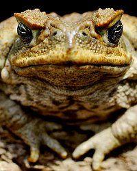 Cane toads could take over Australia