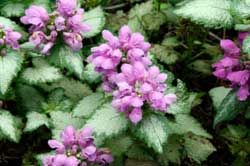 Lamium (Dead Nettle). There are quite a few varieties of Lamium, and they are all very pretty. It is very drought tolerant. Most Lamium are appreciated for their pretty foliage, but most have beautiful flowers as well. Great for shade.