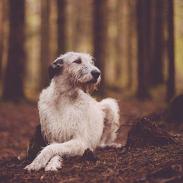 Sheelagh the Irish Wolfhound. #WeeklyFluff