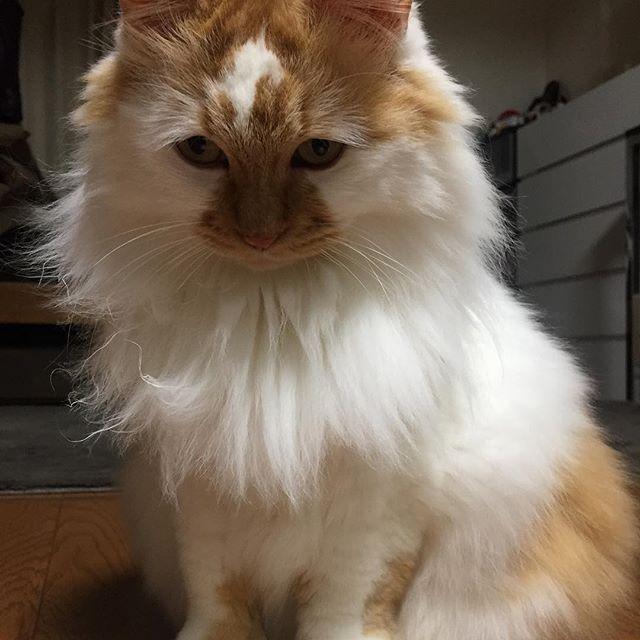 おはようございます . 今日ももっふりなゆきちゃん . 金曜日頑張ってにゃ〜 . #cat #catstagram #catoftheday #catsofinstagram #instagramcats #catoftheday #lovekittens #catlover  #ilovecat  #ilovemycat#catstagram #instacat #instacats #kawaii_cat#nyaspaper#猫好きさんと繋がりたい#愛猫 #保護猫#もふもふ#ふわもこ部#ねこ部#にゃんすたぐらむ#にゃんこ#ねこ#ねこまみれ#みんねこ#猫エイズキャリア