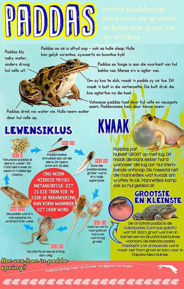 Afrikaanse taakhulp: Alles oor paddas Infografika. Lewensiklus. Grootste. Kleinste. Feite. Koudbloedige diere. Animals. Hoezit.