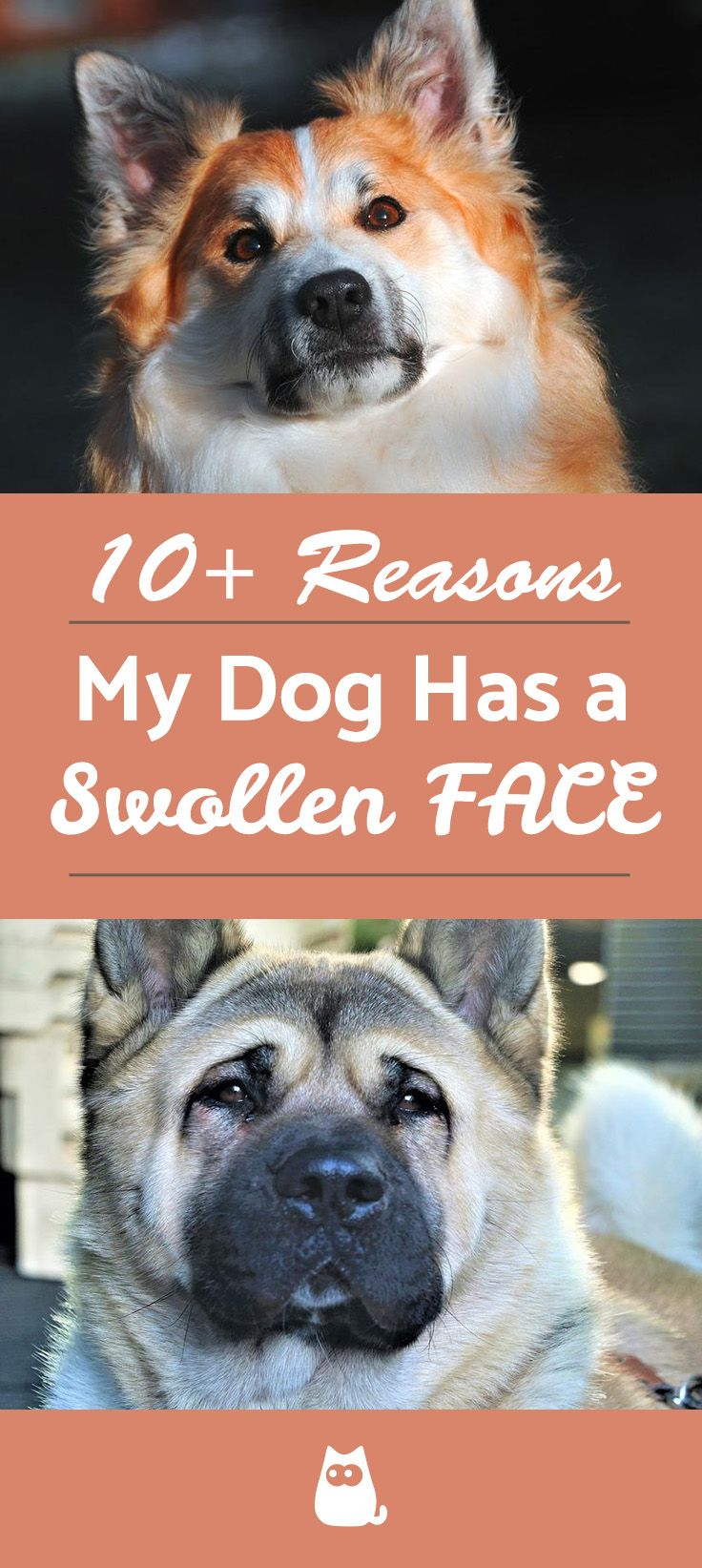 My Dog Has A Swollen Face Swollen Face Medication For Dogs Dogs