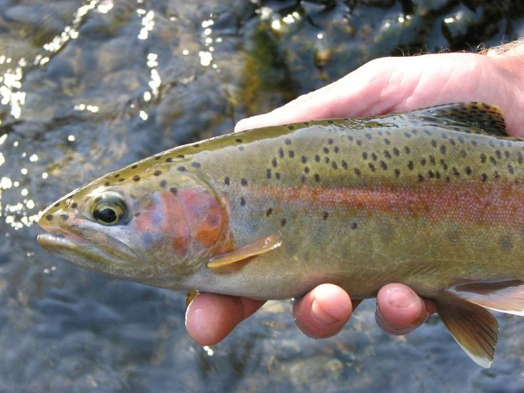 10 best mccloud river california images on pinterest for Trout fishing northern california
