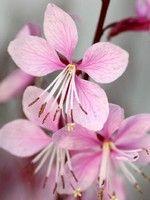 Laura lindheimeri 'Cherry Brandy' - beeblossoms