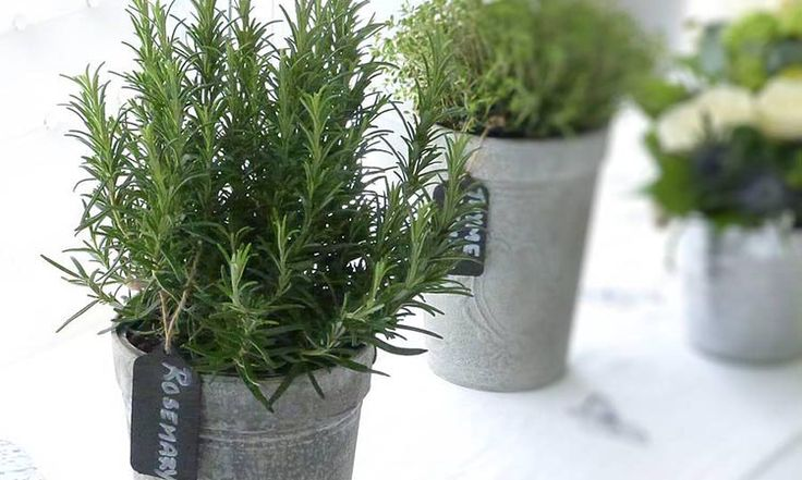 Keeping a pot of Rosemary in your bedroom or study may just do the trick. The scent of Rosemary may help you improve your memory or even clear your brain fog. Fill your garden or yard with this hardy evergreen shrub. It you are not into green, perhaps a Rosemary essential oil or indulging in Rosemary tea could do too.