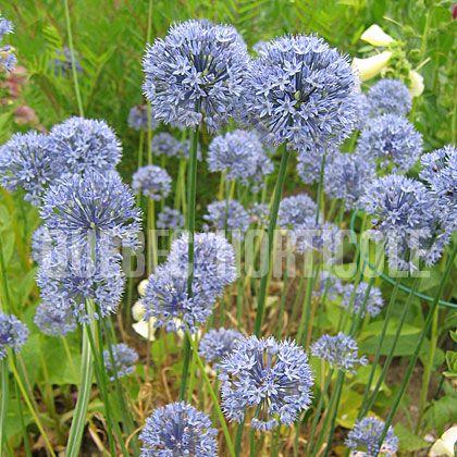image de Allium caeruleum