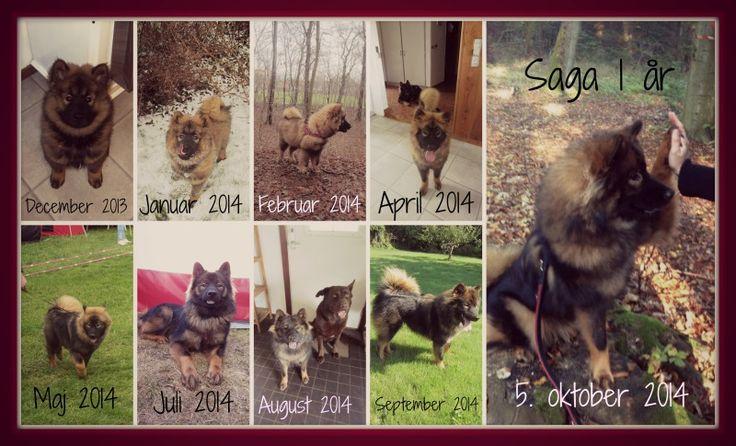 Saga fra hvalp til Unghund. Fra da vi fik hende i december til hun blev 1 år den 5. oktober. Sikken en forvandling.