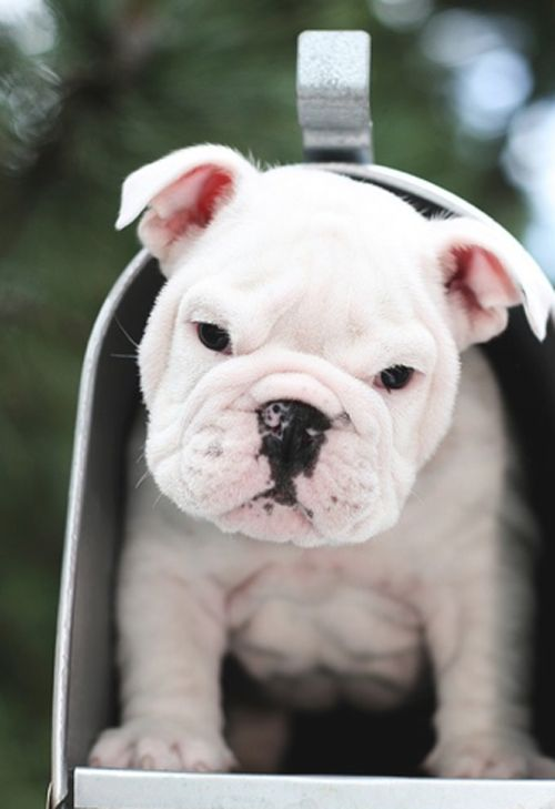 MAIL!: Bulldogs Puppies, Englishbulldog, English Bulldogs, You'V Got Mail, Mailboxes, Music Books, Mail Boxes, Special Delivery, Snails Mail