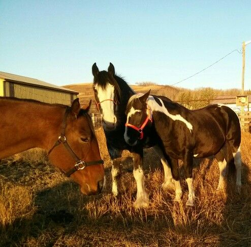 Courtney(APHA) Diva (Clyde) and Image (APHA) :-)