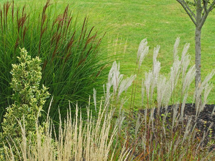 17 best images about planting with ornamental grasses on for Tall feather grass
