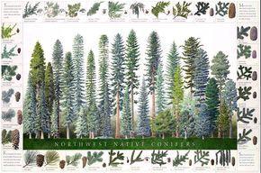 """Artist: Michael Lee Size: 24"""" x 36""""Common Juniper • Rocky Mountain Juniper • Western Juniper • Modoc Cypress • Port Orford Cedar • Alaska Yellow Cedar • Western Red Cedar • Incense Cedar • Subalpine Fir • Noble Fir•Red Fir•White Fir•Pacific Silver Fir•Grand Fir•Douglas Fir•Sitka Spruce•Weeping Spruce•Englemann Spruce•Mountain Hemlock•Western Hemlock•Pacific Yew•Coast Redwood•Lodgepole Pine•Knobcone Pine•Ponderosa Pine•Jeffrey Pine•Sugar Pine•Western White Pine•Limber Pine•Whitebark ..."""