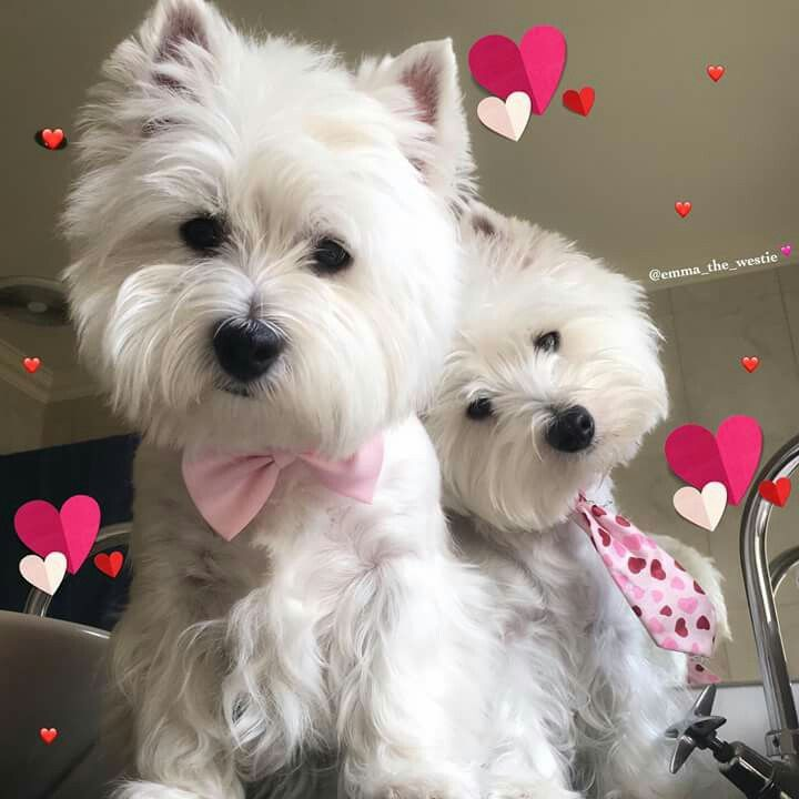 Happy valentines day adorable westies westies - Valentines day pictures with puppies ...