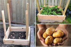 Ako vypestovať až 45 kg zemiakov na 1 m²