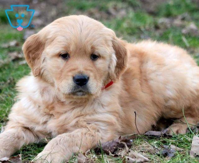 Ella Puppies For Sale Puppies Fur Babies