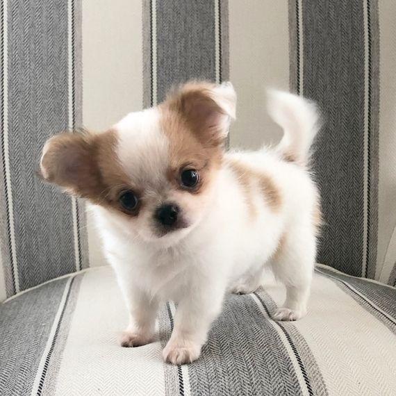 10 Chihuahua Puppies Long Haired Uk Teacupchihuahua Long Haired Teacup Chihuahua For Di 2020 Anak Anjing Anjing Chihuahua Chihuahua