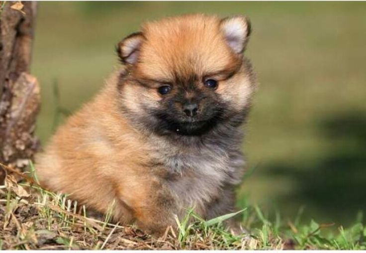 Spitz Tedesco nano Mantello fulvo Tre mesi Vaccinato Iscritto anagrafe canina 392 9208064