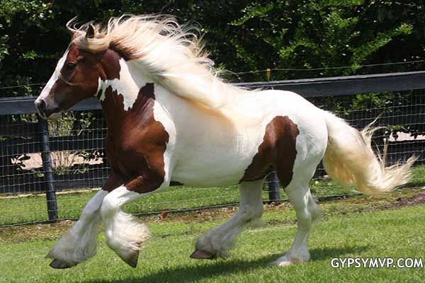 Gypsy Vanner Horses for Sale | Gelding | Red and White | Jack Sparrow