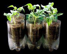 Cara Membuat Tanaman Hidroponik dari Botol Aqua Bekas - http://bibitbunga.com/blog/cara-membuat-tanaman-hidroponik-dari-botol-aqua-bekas/