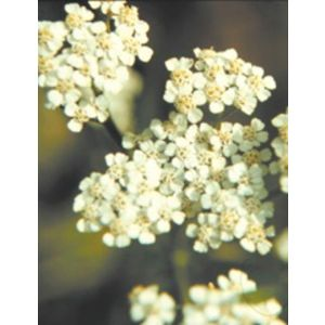ElixirAchilléeMillefeuille(Achilleamillefolium)