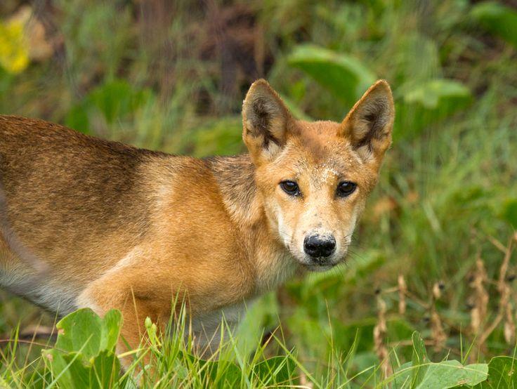 Dingo on Frazer Island