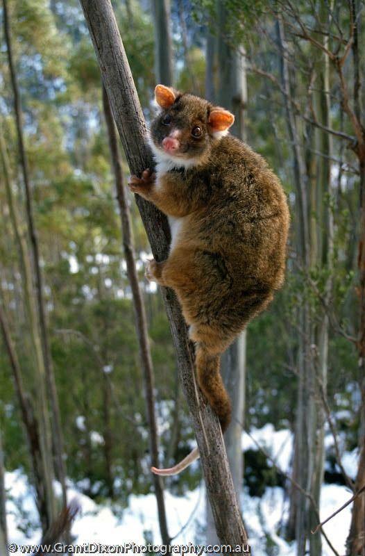 Ring Tailed Possum, Australia,
