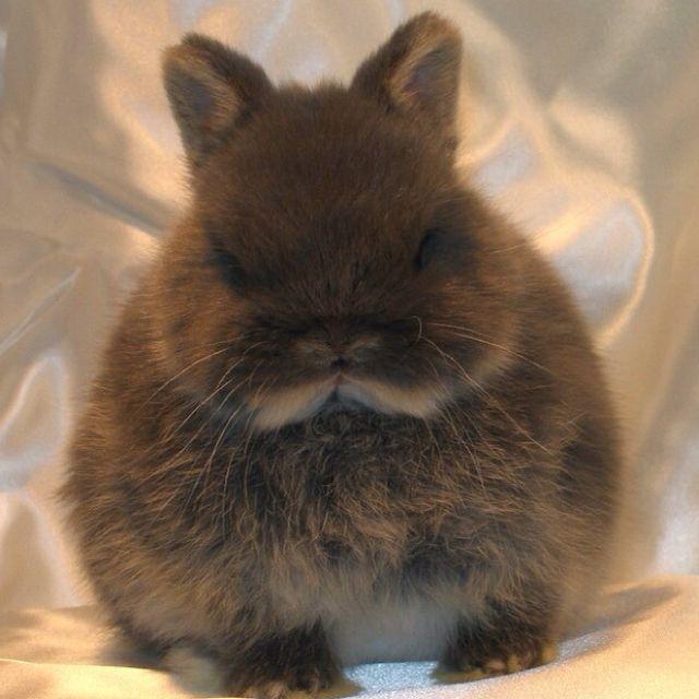 brown dwarf baby rabbits - photo #10