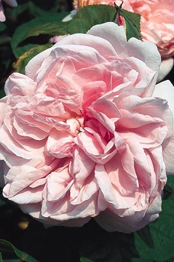39 best images about roses on pinterest pink petals jude the obscure and english roses. Black Bedroom Furniture Sets. Home Design Ideas