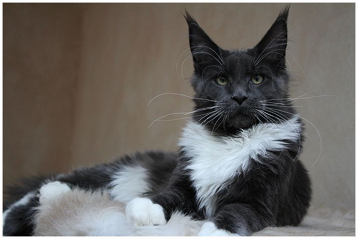 Maine Coon, blue solid & white (a 09). Foxhilltigers Di Jacomo