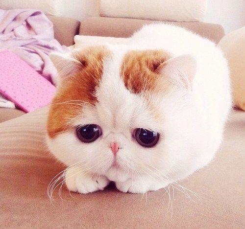 what an ugly little cat <3: Cats, Exoticshorthair, Kitty Cat, Cute Cat, Kittens, Big Eye, Exotic Shorthair, Sad Kitty, Animal