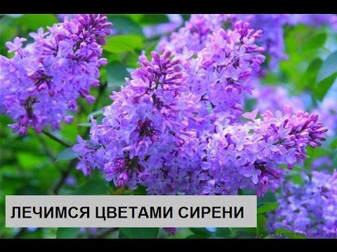 Лечим суставы цветами сирени