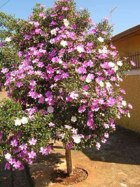 Manaca da Serra, atrás de casa tem várias árvores e quando vai chegando o verão, elas vão se abrindo lentamente, com suas lindas flores q vão do branco com bordas em rosa, aos tons de rosa e lilás, alegram a vida e os dias de minha família, trazendo cor e alegria à nossa vida.