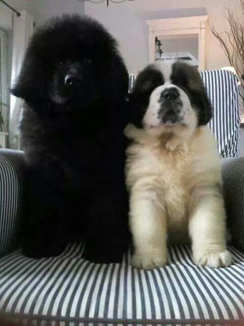 I want a newfoundland too