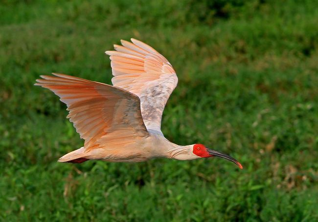 Japanese Crested Ibis | Endangered Animals | Pinterest