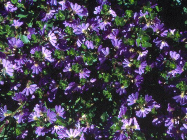 17 best images about scaevola  fan flower  on pinterest