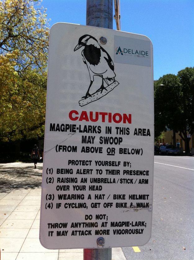 Magpie swooping season. Not just in Adelaide, they are all over Australia....So watch out during their breeding season, throughout Australia..
