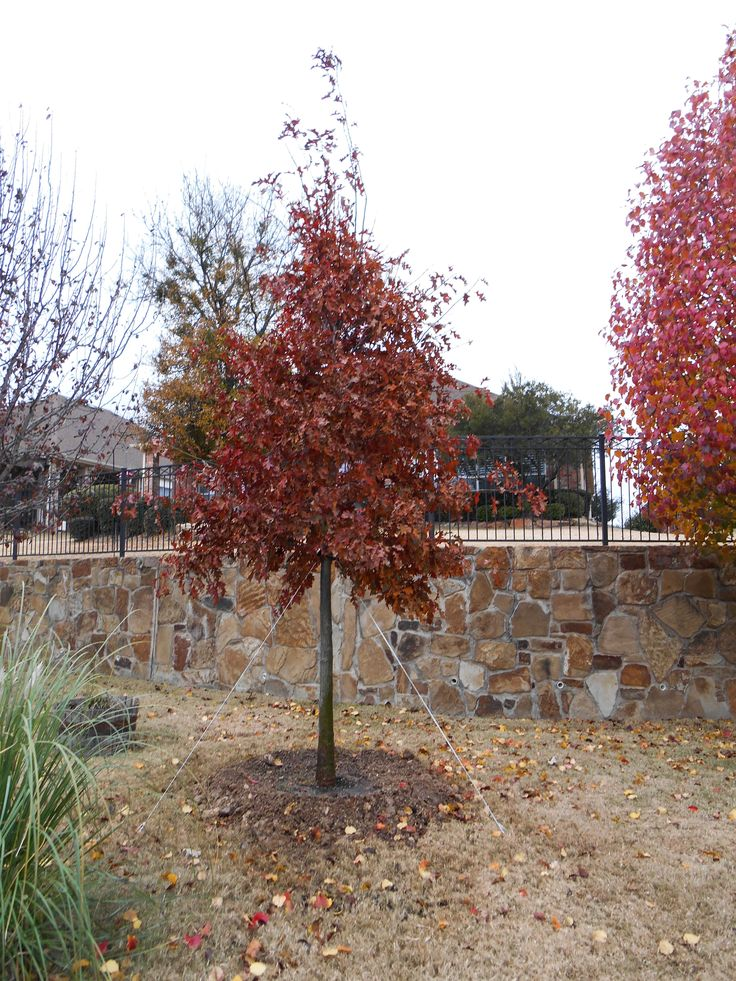 Shumard Red Oak Are Large Stately Trees With Wide Spreading Canopieake Excellent Shade For Dallas Texas