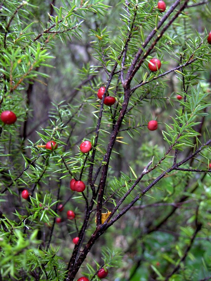Leptecophylla juniperina photos - Prickly Mingimingi