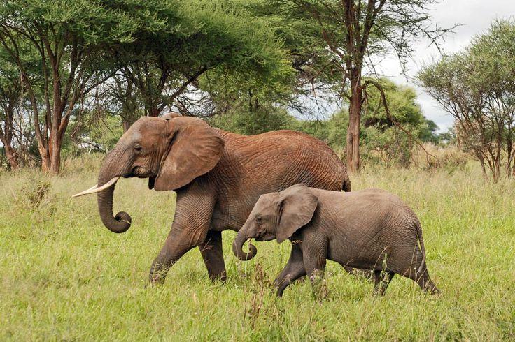 Safari365's top reasons to visit #Tanzania's not-so-hidden gem #TarangireNationalPark  https://www.safari365.com/travel-destinations/tanzania/tarangire-national-park/why-visit-tarangire-national-park?utm_content=buffera1b2c&utm_medium=social&utm_source=pinterest.com&utm_campaign=buffer Tanzania Parks Tarangire Park