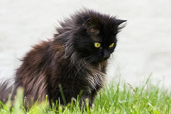 The Chantilly Cat - I never realized the cat I always wanted was a breed!
