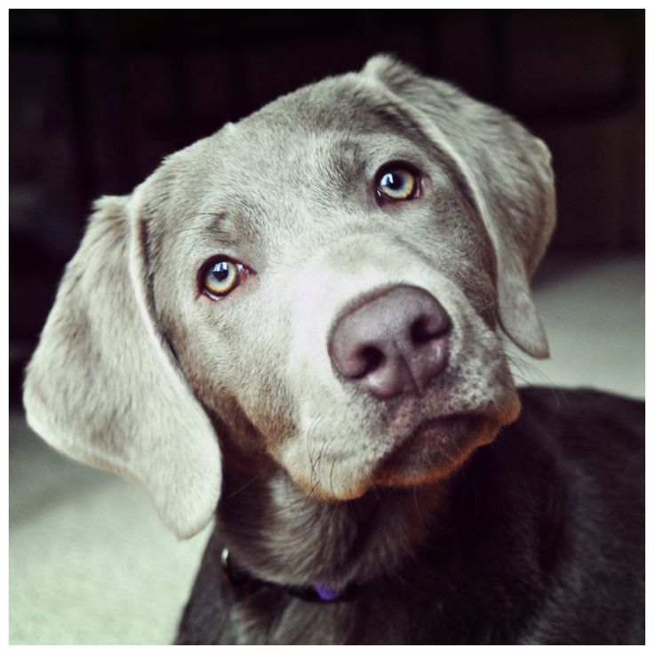 Silver Lab Grey Labrador Retriever Labs Gracie