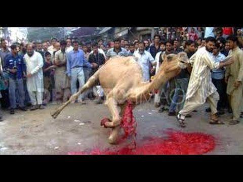 Best Videos | Tricky Dangerous Camel Qurbani |2016 Eid ul Adha