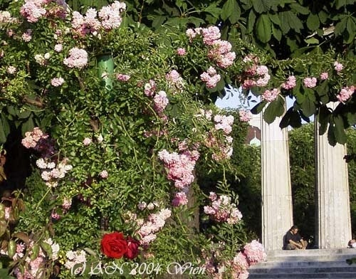 Volksgarten, Vienna, is filled with lovely roses of all sorts (photo AN)