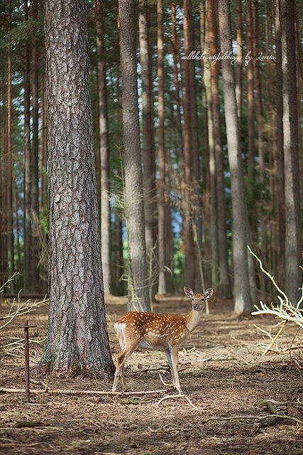 Never met a deer I did not find ENCHANTING.....